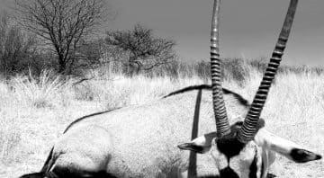 Osprey Hunting Safaris – Plains Game, Big Game and Dangerous Game Hunting Outfitters in Namibia
