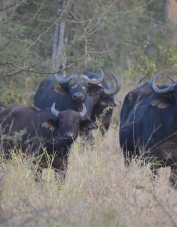 John Sharp Safaris – Zimbabwe Hunting Outfitters for Lion, Leopard and Cape Buffalo Hunts Bubye Valley Conservancy