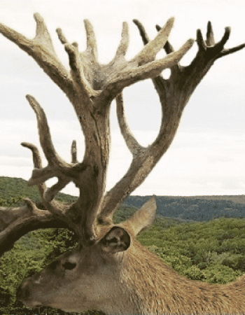 Adirondack Red Stag – New York Red Stag and Big Game Hunting Outfitters