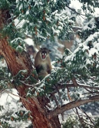 Colorado Cougar Hunting Guides – Affordable Mountain Lion Hunting Outfitters in Western Colorado near Grand Junction