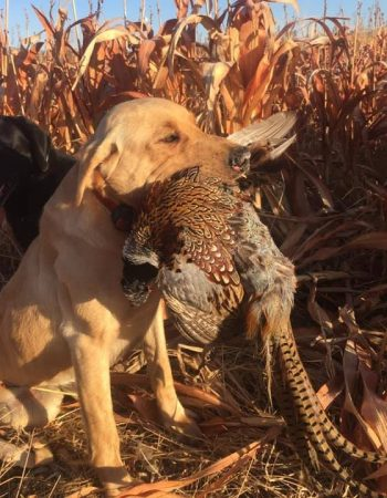 Nebraska Hunting Outfitters – Whitetail Deer, Turkey, Pheasant and Quail Hunting Trips in Nebraska near Battle Creek, Omaha and Lincoln