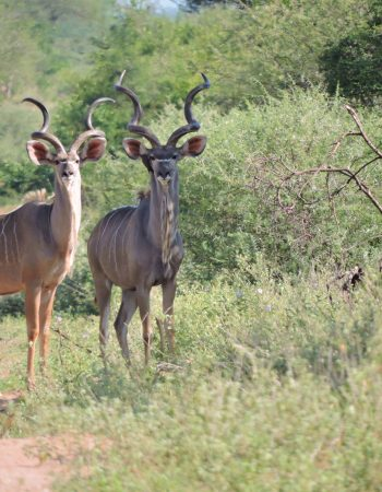 Mozambique Hunting Outfitters – Hunt Lion, Leopard, Buffalo in the Nhacainga Hunting Conservancy, Coutada 9, 2022 2023
