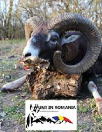 Romania Hunting Trips – Chamois, Brown Bear, Gray Wolf, Red Stag, Wild Boar, Roebuck, Lynx, Fallow Deer