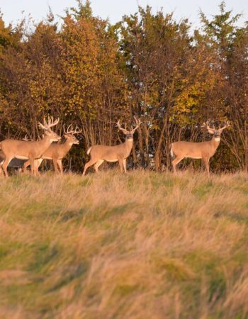 Sodak Prairie Acres – South Dakota Whitetail and Elk High Fence Hunting Ranch and Outfitters