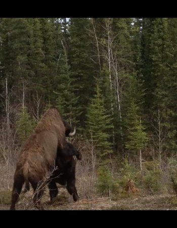 Alberta Hunting Outfitters and Lodge – Fully-Guided Duck, Goose, Coyote, Timber Wolf, Moose and Woodland Bison Hunts